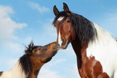 Łaciaty konik całuje dużego siodłowego konia zdjęcia stock