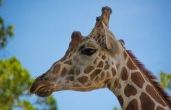 Ładna żyrafa Fotografia Stock