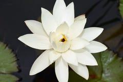 Ładna biała woda w mój ogrodowym stawie lilly Obraz Stock