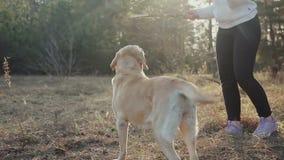Ładna brunetka chodzi z Złotobarwnym labradorem w wiosna lesie zdjęcie wideo
