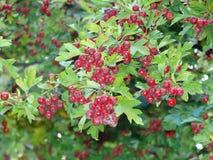 Ładna czerwona roślina przy ogródem Obraz Stock