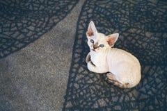Ładna Devon Rex figlarka z niebieskimi oczami kłaść w dół na miękkiej wełny koc i patrzeje kamerę Obraz Royalty Free