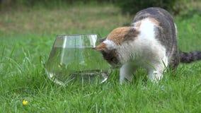 Ładna kota chwyta ryba od plastikowego pucharu z wodnym i bieg zbliżenie 4K zdjęcie wideo