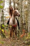 Ładna młoda dziewczyna jedzie konia bez jakaś wyposażenia w jesieni Fotografia Stock