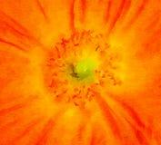 Ładna pomarańczowa Makowa akwarela Zdjęcia Stock