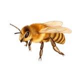 Ładna pszczoła odizolowywająca na bielu Zdjęcia Royalty Free