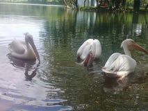 Ładna sceneria w wodnym ptaku zdjęcia royalty free