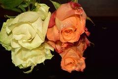 Ładne kolorowe róże zamknięte w górę obrazy stock