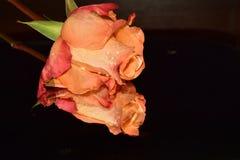 Ładne kolorowe róże zamknięte w górę obraz stock