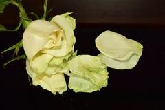 Ładne kolorowe róże zamknięte w górę zdjęcie royalty free