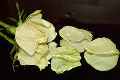 Ładne kolorowe róże zamknięte w górę obrazy royalty free