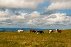 Ładne krowy na Feldberg w Niemcy Czarnym lesie. Obraz Royalty Free