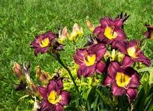 Ładne purpurowe i żółte leluje w polu zdjęcie royalty free