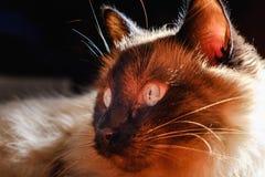 Ładnego balijczyka domowy kot, zwierzę domowe relaksuje, elegancja ssak fotografia royalty free