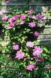 Ładnego clematis narastający up drewniany ogrodzenie fotografia stock