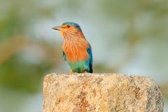 Ładnego colour bławy ptasi Indiański Rolkowy obsiadanie na kamieniu z pomarańczowym tłem Birdwatching w Azja Piękny colour bir Zdjęcie Stock