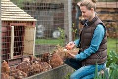 Ładnego kobiety średniorolnego zgromadzenia świezi jajka w kosz przy karmazynką uprawiają ziemię Fotografia Stock
