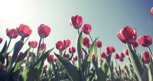 Ładni czerwoni tulipany strzelali od underneath podczas zmierzchu przy szerokim fotografia stock
