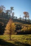 Ładni drzewa w jesień lesie Fotografia Stock