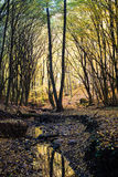 Ładni drzewa w jesień lesie Fotografia Royalty Free