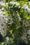 Ładni fragrant kwiaty kwitnie białej akaci Zdjęcia Stock