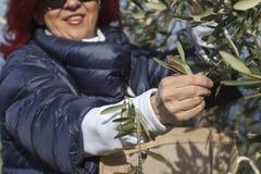 Ładni kobiety zgromadzenia oliwki liście zdjęcia stock
