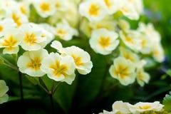 Ładni kolorów żółtych kwiaty Fotografia Stock