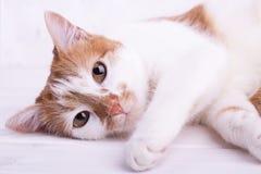 Ładni kotów spojrzenia przy kamerą Fotografia Royalty Free