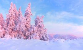 Ładni kręceni drzewa zakrywający z gęstą śnieżną warstwą oświecają różanego barwionego zmierzch w pięknym zima dniu zdjęcia stock