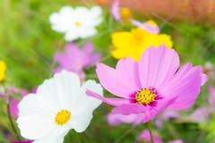 Ładni kwiatów kosmosy i na pole menchiach płyniemy Obrazy Royalty Free