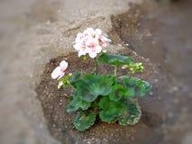 Ładni kwiaty zasadzający w ogródzie zdjęcie royalty free