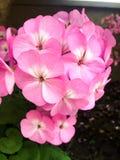 Ładni kwitnienie menchii hortensi kwiaty obraz royalty free