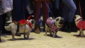Ładni mopsy demonstruje kreatywnie z rodziny psów modę przy psim przedstawieniem, zwierzęcy butik zdjęcie wideo