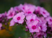 Ładni różowi floksów kwiaty Zdjęcia Royalty Free