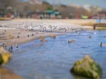 Ładni seagulls, kaczki, gołębie na Czarnym morzu Zdjęcie Royalty Free