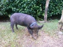 Ładny świniowaty łasowanie fotografia stock