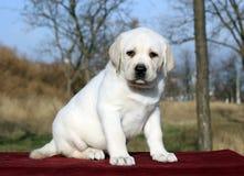 Ładny żółty labradora szczeniak na czerwieni Zdjęcie Royalty Free