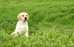 Ładny żółty labradora szczeniak w zielonej trawie Fotografia Stock