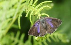 Ładny żeński Purpurowy modraszka motyla Favonius quercus umieszczał na bracken Zdjęcie Stock