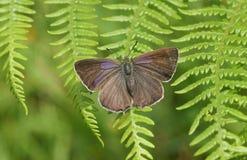 Ładny żeński Purpurowy modraszka motyla Favonius quercus umieszczał na bracken Fotografia Stock