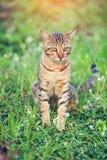 Ładny Bengal kota obsiadanie na zielonej trawie i patrzeć na boku przy pa Obraz Stock