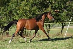 Ładny brown arabski kobyli bieg Fotografia Royalty Free