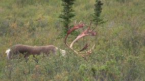 Ładny Caribou byk zbiory wideo