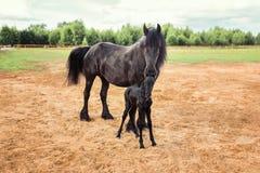 Ładny czarny koń z źrebięciem Zdjęcia Stock