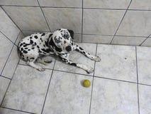Ładny Dalmatyński pies Obrazy Royalty Free