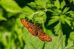 Ładny duży pomarańczowy motyl na zielonym liściu zdjęcia stock