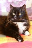 Ładny gnuśny czarny kot kłama na barwionej kanapie Zdjęcie Stock
