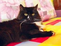 Ładny gnuśny czarny kot kłama na barwionej kanapie Zdjęcie Royalty Free