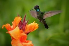 Ładny hummingbird, Wspaniały Hummingbird, Eugenes fulgens, lata obok pięknego pomarańczowego kwiatu z świstem kwitnie w backgr Zdjęcia Stock