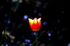 Ładny iluminujący czerwony tulipan Zdjęcie Stock